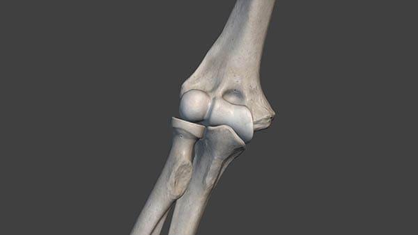 anatomie coude docteur thomas waitzenegger chirurgien orthopedique paris 16